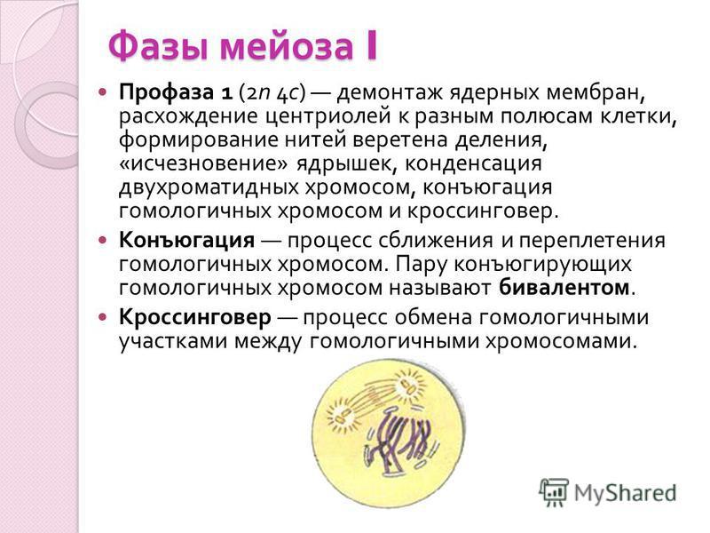 Фазы мейоза I Профаза 1 (2n 4c) демонтаж ядерных мембран, расхождение центриолей к разным полюсам клетки, формирование нитей веретена деления, « исчезновение » ядрышек, конденсация двухроматидных хромосом, конъюгация гомологичных хромосом и кроссинго