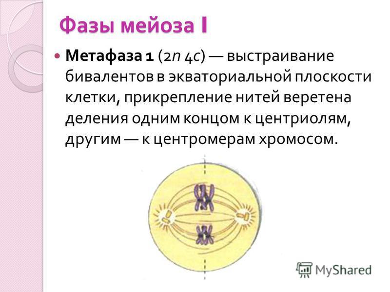 Фазы мейоза I Метафаза 1 (2n 4c) выстраивание бивалентов в экваториальной плоскости клетки, прикрепление нитей веретена деления одним концом к центриолям, другим к центромерам хромосом.