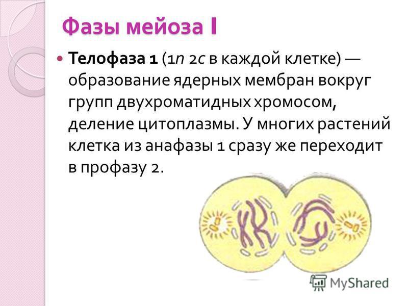 Фазы мейоза I Телофаза 1 (1n 2c в каждой клетке ) образование ядерных мембран вокруг групп двухроматидных хромосом, деление цитоплазмы. У многих растений клетка из анафазы 1 сразу же переходит в профазу 2.