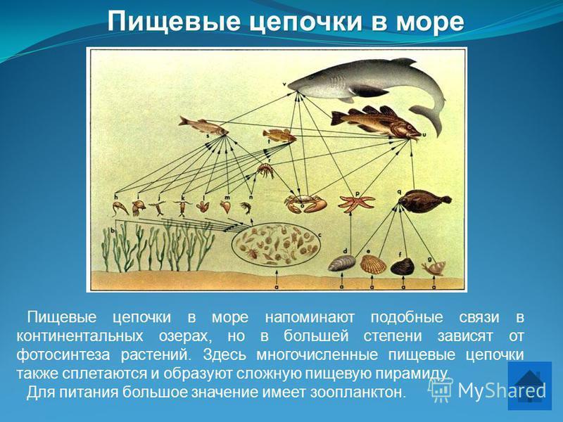 Пищевые цепочки в море напоминают подобные связи в континентальных озерах, но в большей степени зависят от фотосинтеза растений. Здесь многочисленные пищевые цепочки также сплетаются и образуют сложную пищевую пирамиду. Для питания большое значение и