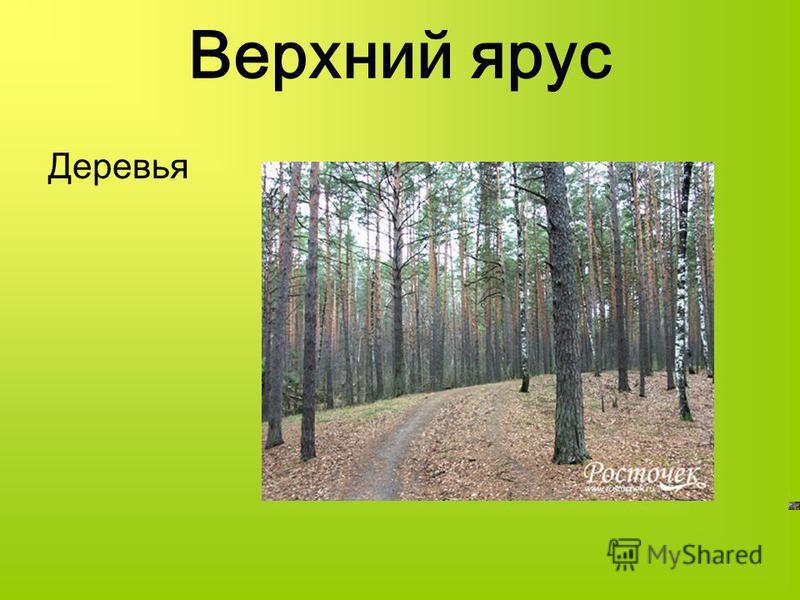 Верхний ярус Деревья