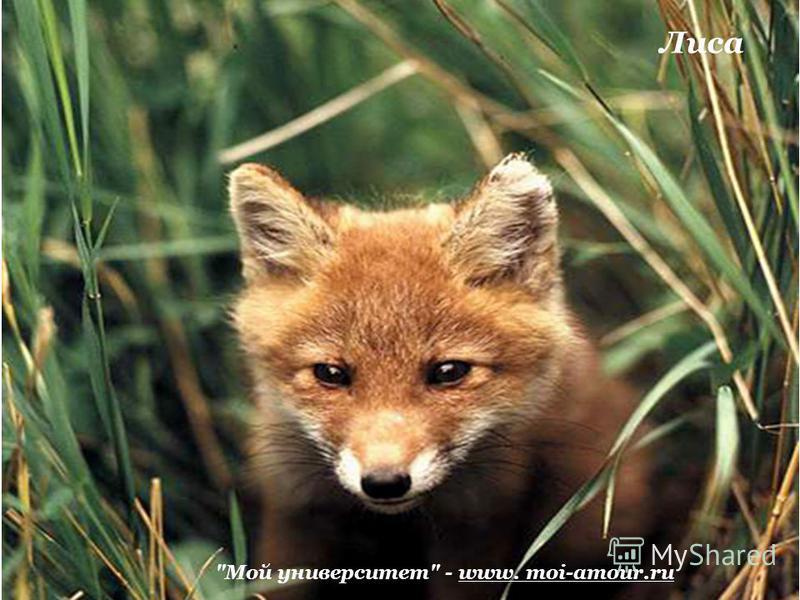 Мой университет - www. moi-amour.ru Лиса