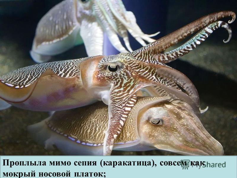 Проплыла мимо сепия (каракатица), совсем как мокрый носовой платок;