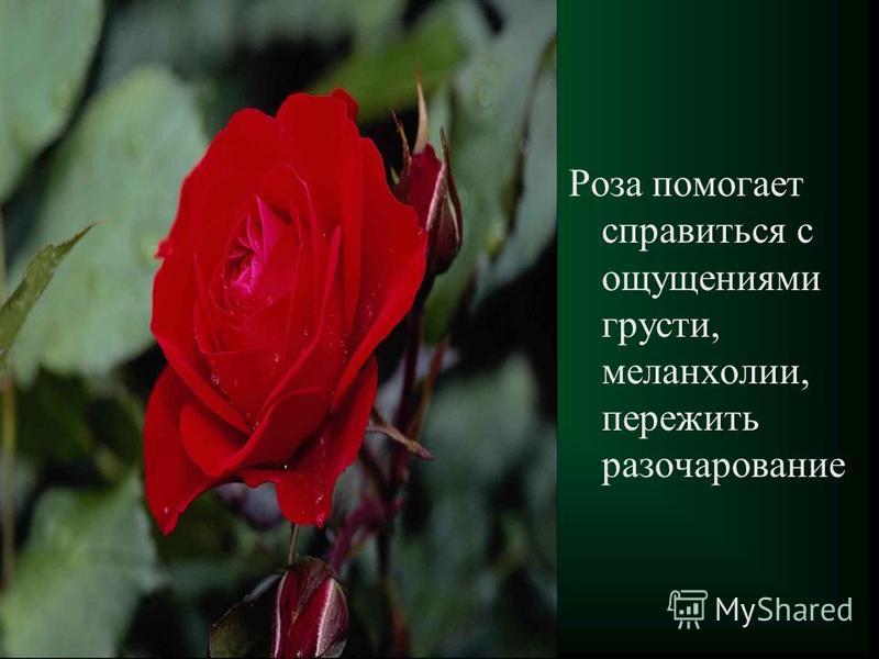 роза помогает справиться с ощущениями грусти, меланхолии, пережить разочарование Роза помогает справиться с ощущениями грусти, меланхолии, пережить разочарование