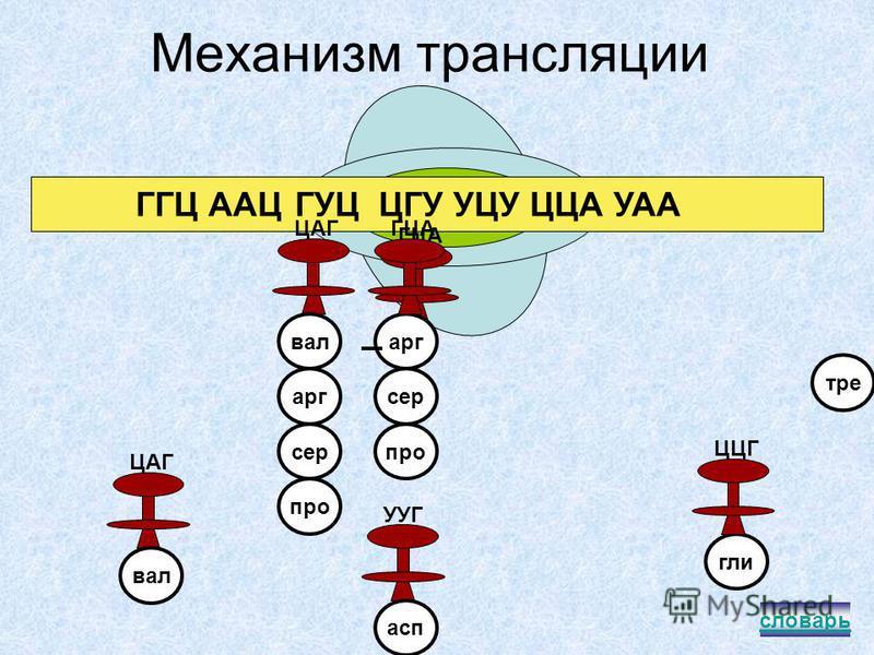 Схематическое строение рибосомы и тРНК т РНКрибосома лги ЦЦГ антикодон молекула аминокислоты функциональный центр рибосомы малая и большая субъединицы рибосомы словарь