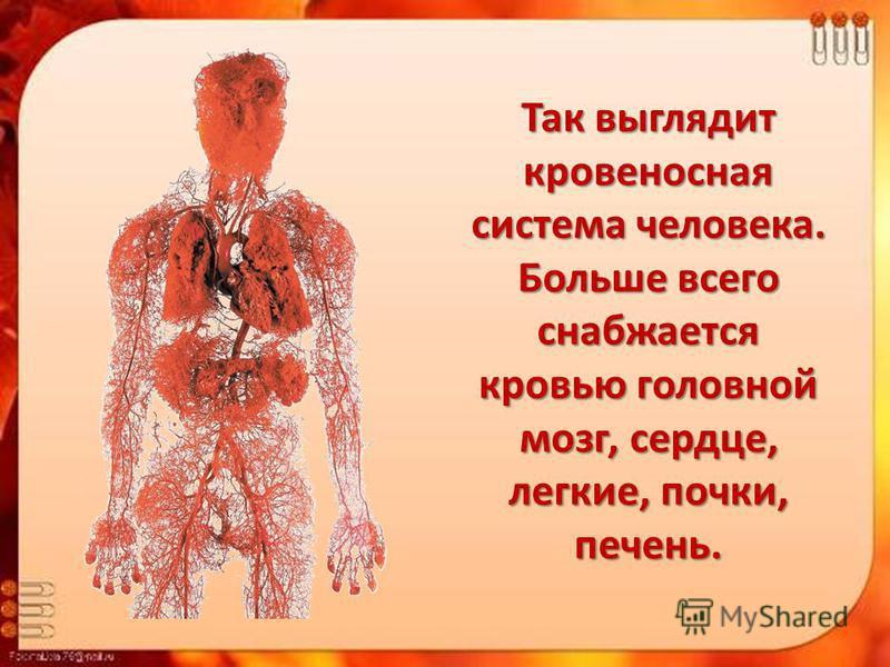 Так выглядит кровеносная система человека. Больше всего снабжается кровью головной мозг, сердце, легкие, почки, печень.