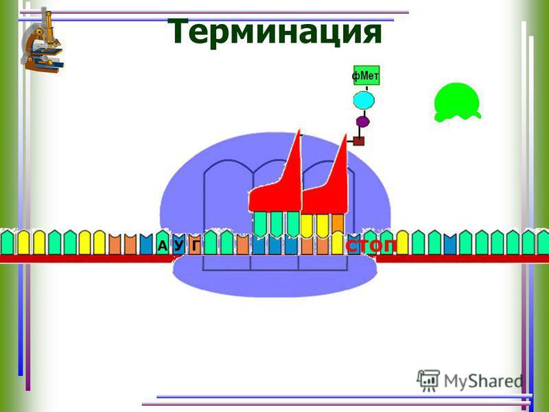 Терминация АУГ ф Мет стоп