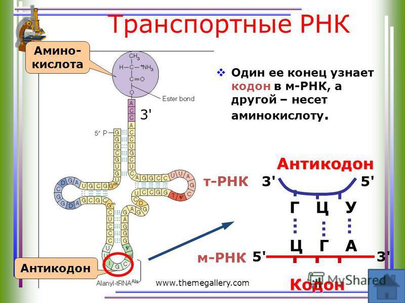 www.themegallery.com Транспортные РНК Один ее конец узнает кодон в м-РНК, а другой – несет аминокислоту. 3'3' Амино- кислота Антикодон Ц Г ААнтикодон 5'5'3'3' Г Ц У 3'3'5'5' Кодон м-РНК т-РНК