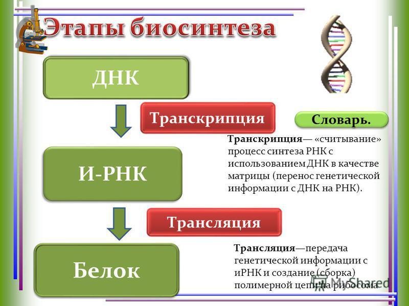 Словарь. И-РНК Транскрипция «считывание» процесс синтеза РНК с использованием ДНК в качестве матрицы (перенос генетической информации с ДНК на РНК). ДНК Белок Транскрипция Трансляция Трансляцияпередача генетической информации с иРНК и создание (сборк