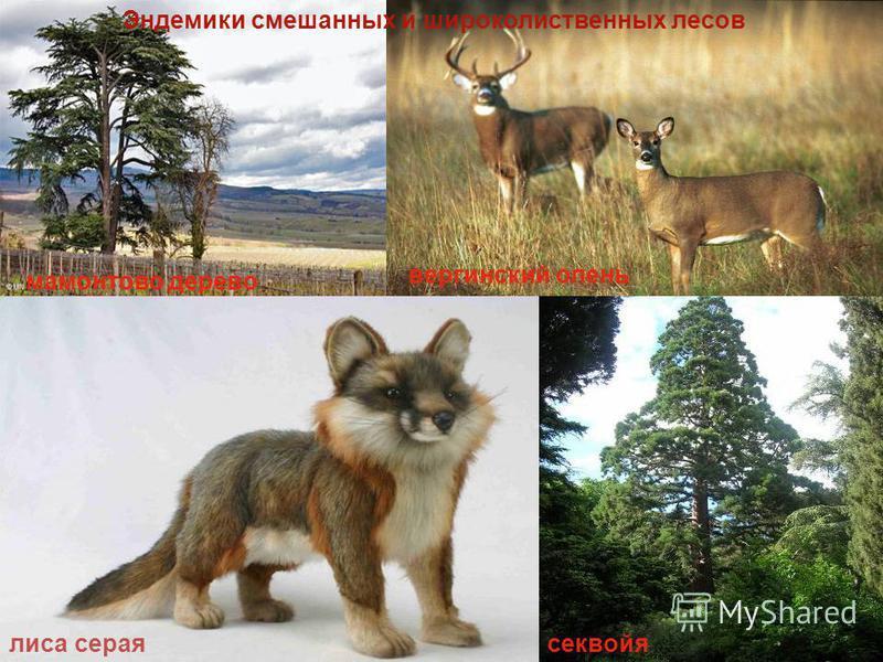 мамонтово дерево секвойя лиса серая виргинский олень Эндемики смешанных и широколиственных лесов
