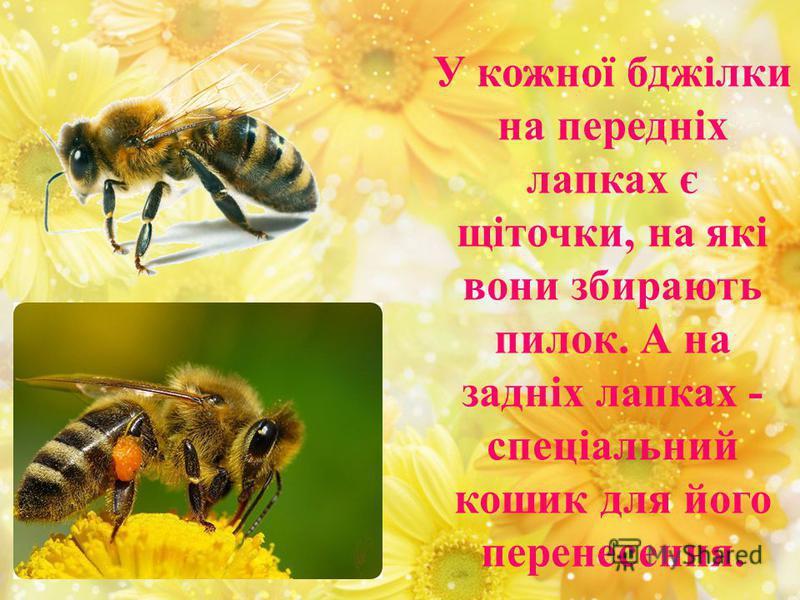 У кожної бджілки на передніх лапках є щіточки, на які вони збирають пилок. А на задніх лапках - спеціальний кошик для його перенесення.