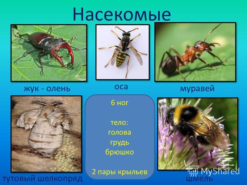 Насекомые жук - олень оса муравей тутовый шелкопряд шмель 6 ног тело: голова грудь брюшко 2 пары крыльев