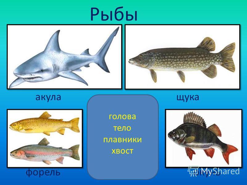 Рыбы голова тело плавники хвост акула щука форель окунь