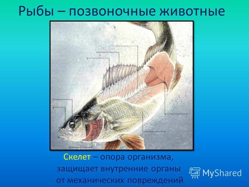 Рыбы – позвоночные животные Скелет – опора организма, защищает внутренние органы от механических повреждений