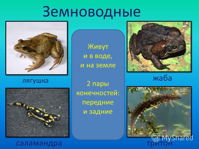 Земноводные Живут и в воде, и на земле 2 пары конечностей: передние и задние лягушка жаба саламандра тритон