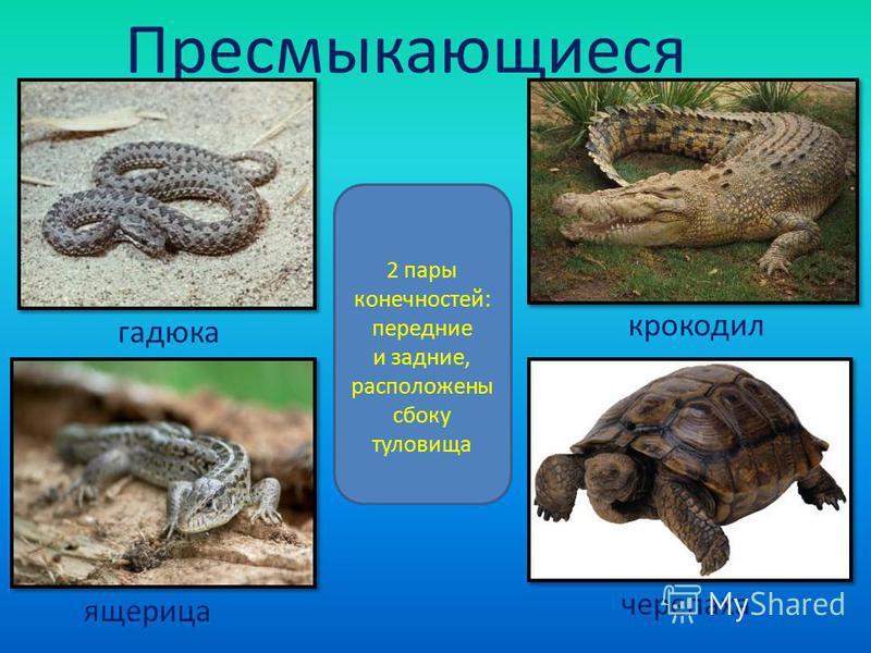 Пресмыкающиеся 2 пары конечностей: передние и задние, расположены сбоку туловища гадюка крокодил ящерица черепаха
