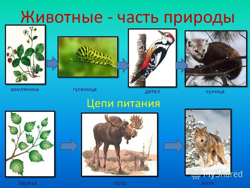 Животные - часть природы Цепи питания земляника гусеница дятел куница берёзалосьволк