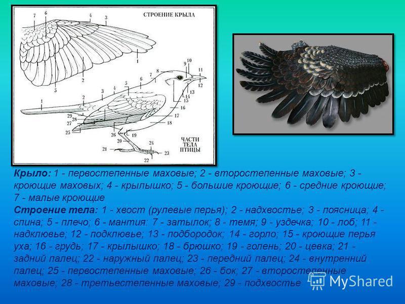 Крыло: 1 - первостепенные маховые; 2 - второстепенные маховые; 3 - кроющие маховых; 4 - крылышко; 5 - большие кроющие; 6 - средние кроющие; 7 - малые кроющие Строение тела: 1 - хвост (рулевые перья); 2 - надхвостье; 3 - поясница; 4 - спина; 5 - плечо