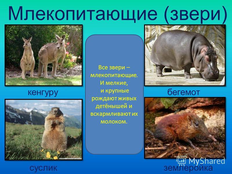 Млекопитающие (звери) Все звери – млекопитающие. И мелкие, и крупные рождают живых детёнышей и вскармливают их молоком. кенгуру бегемот суслик землеройка