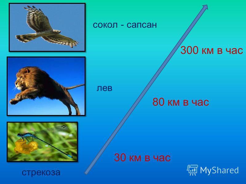 30 км в час 300 км в час 80 км в час сокол - сапсан лев стрекоза