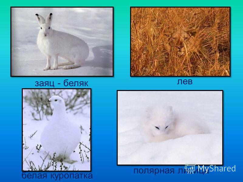 заяц - беляк лев белая куропатка полярная лисица