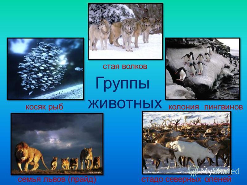 Группы животных стая волков косяк рыб колония пингвинов семья львов (прайд)стадо северных оленей