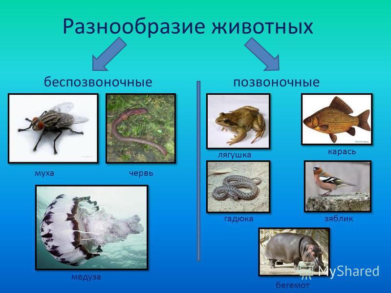 Разнообразие животных беспозвоночные позвоночные муха червь медуза лягушка карась гадюка зяблик бегемот