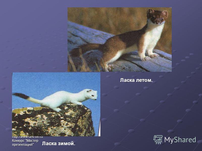 http://www.deti-66. ru Конкурс Мастер презентаций Ласка летом. Ласка зимой.