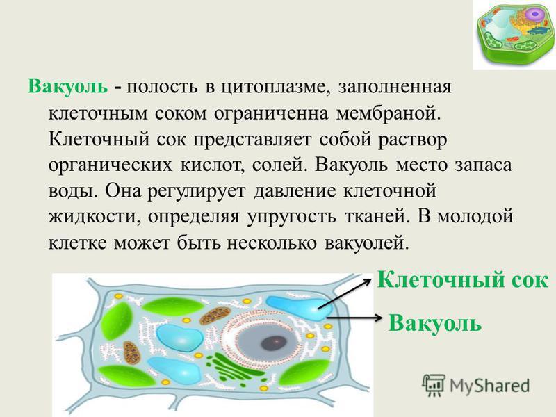Вакуоль - полость в цитоплазме, заполненная клеточным соком ограниченна мембраной. Клеточный сок представляет собой раствор органических кислот, солей. Вакуоль место запаса воды. Она регулирует давление клеточной жидкости, определяя упругость тканей.