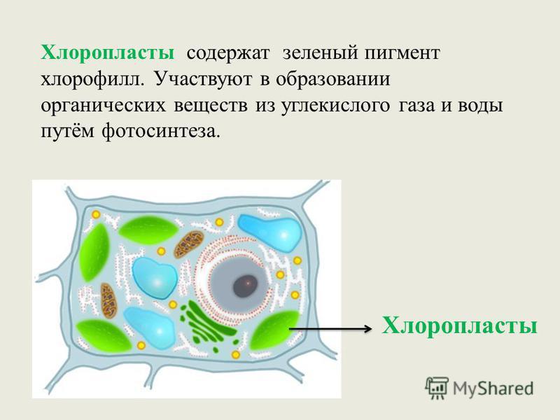 Хлоропласты Хлоропласты содержат зеленый пигмент хлорофилл. Участвуют в образовании органических веществ из углекислого газа и воды путём фотосинтеза.