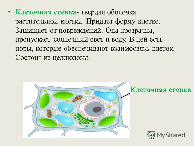Клеточная стенка- твердая оболочка растительной клетки. Придает форму клетке. Защищает от повреждений. Она прозрачна, пропускает солнечный свет и воду. В ней есть поры, которые обеспечивают взаимосвязь клеток. Состоит из целлюлозы. Клеточная стенка