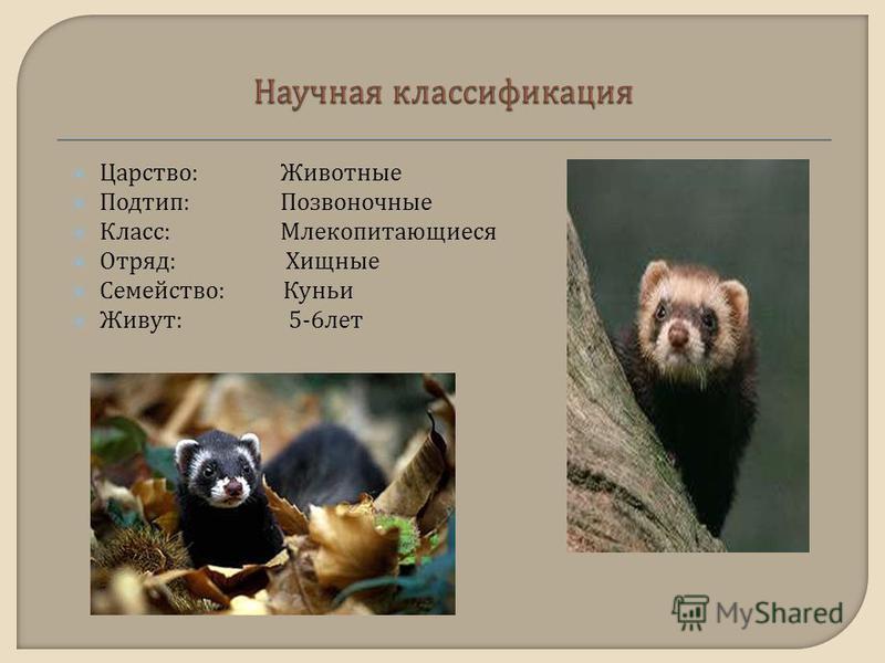 Царство : Животные Подтип : Позвоночные Класс : Млекопитающиеся Отряд : Хищные Семейство : Куньи Живут : 5-6 лет