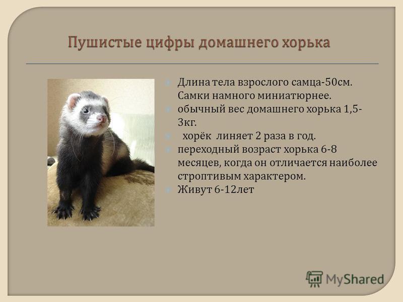 Длина тела взрослого самца -50 см. Самки намного миниатюрнее. обычный вес домашнего хорька 1,5- 3 кг. хорёк линяет 2 раза в год. переходный возраст хорька 6-8 месяцев, когда он отличается наиболее строптивым характером. Живут 6-12 лет
