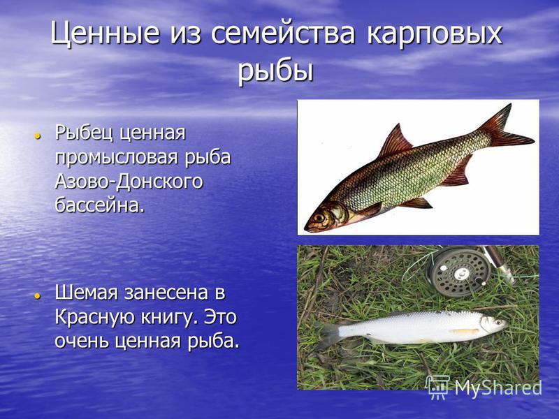Ценные из семейства карповых рыбы Рыбец ценная промысловая рыба Азово-Донского бассейна. Рыбец ценная промысловая рыба Азово-Донского бассейна. Шемая занесена в Красную книгу. Это очень ценная рыба. Шемая занесена в Красную книгу. Это очень ценная ры