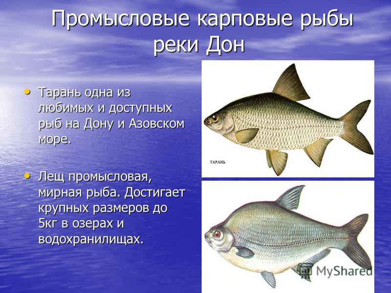 Промысловые карповые рыбы реки Дон Промысловые карповые рыбы реки Дон Тарань одна из любимых и доступных рыб на Дону и Азовском море. Тарань одна из любимых и доступных рыб на Дону и Азовском море. Лещ промысловая, мирная рыба. Достигает крупных разм