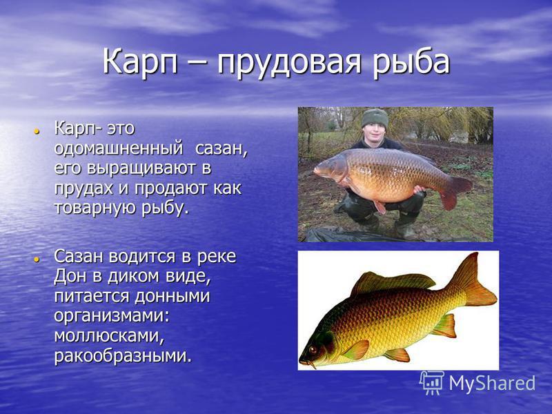Карп – прудовая рыба Карп- это одомашненный сазан, его выращивают в прудах и продают как товарную рыбу. Карп- это одомашненный сазан, его выращивают в прудах и продают как товарную рыбу. Сазан водится в реке Дон в диком виде, питается донными организ