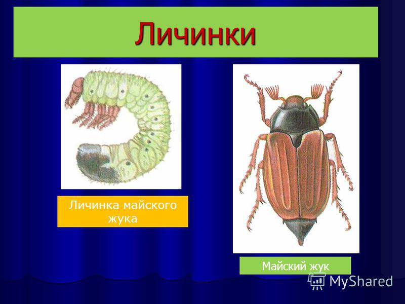 Личинки Личинка майского жука Майский жук