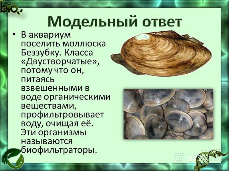 В аквариум поселить моллюска Беззубку. Класса «Двустворчатые», потому что он, питаясь взвешенными в воде органическими веществами, профильтровывает воду, очищая её. Эти организмы называются биофильтраторы.