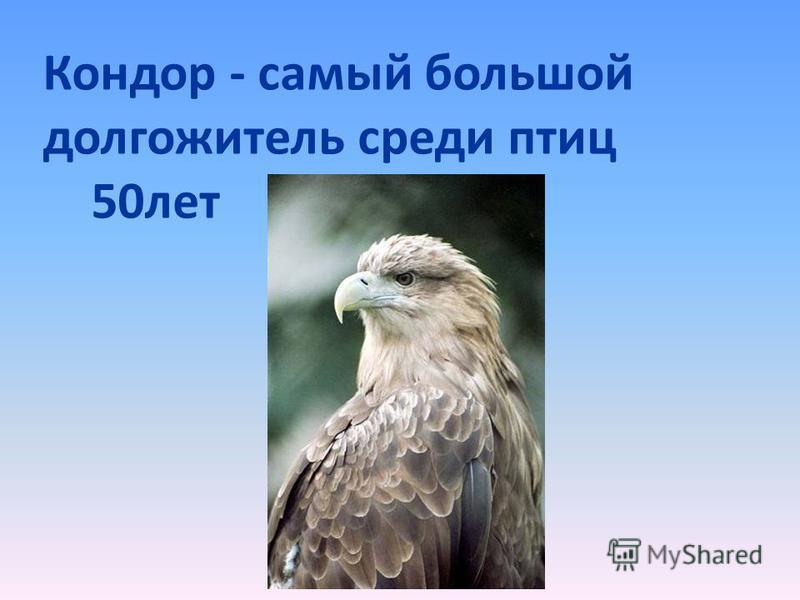 Кондор - самый большой долгожитель среди птиц 50 лет
