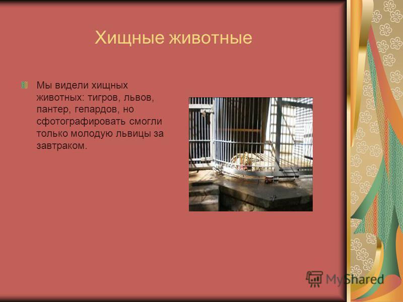 Хищные животные Мы видели хищных животных: тигров, львов, пантер, гепардов, но сфотографировать смогли только молодую львицы за завтраком.