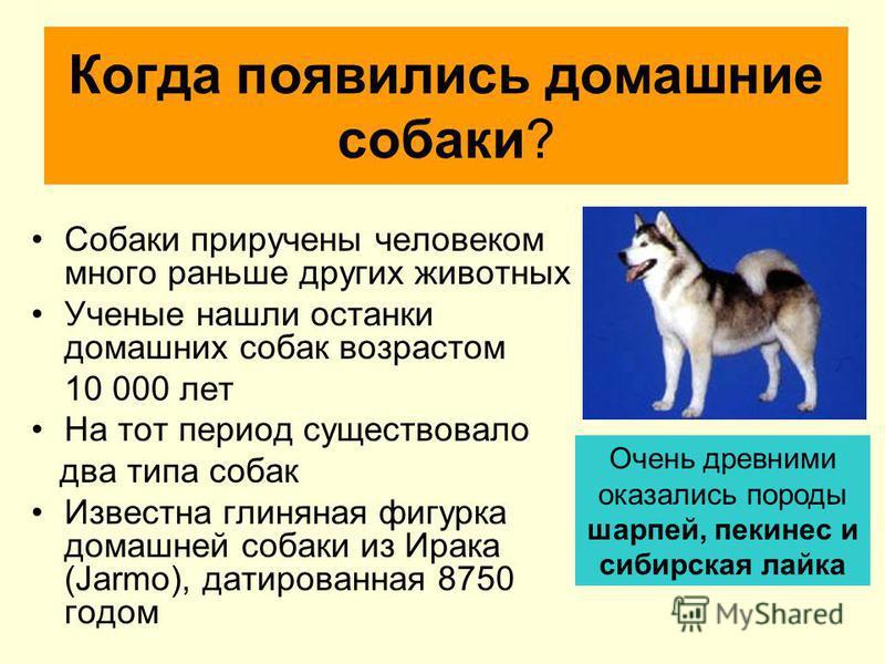 Когда появились домашние собаки? Собаки приручены человеком много раньше других животных Ученые нашли останки домашних собак возрастом 10 000 лет На тот период существовало два типа собак Известна глиняная фигурка домашней собаки из Ирака (Jarmo), да