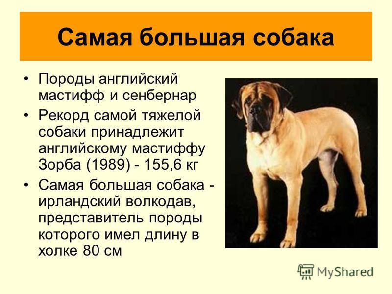 Самая большая собака Породы английский мастифф и сенбернар Рекорд самой тяжелой собаки принадлежит английскому мастиффу Зорба (1989) - 155,6 кг Самая большая собака - ирландский волкодав, представитель породы которого имел длину в холке 80 см