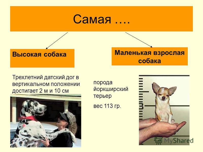 Самая …. Высокая собака Маленькая взрослая собака Трехлетний датский дог в вертикальном положении достигает 2 м и 10 см порода йоркширский терьер вес 113 гр.