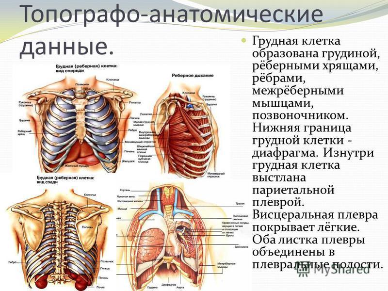 Топографо-анатомические данные. Грудная клетка образована грудиной, рёберными хрящами, рёбрами, межрёберными мышцами, позвоночником. Нижняя граница грудной клетки - диафрагма. Изнутри грудная клетка выстлана париетальной плеврой. Висцеральная плевра