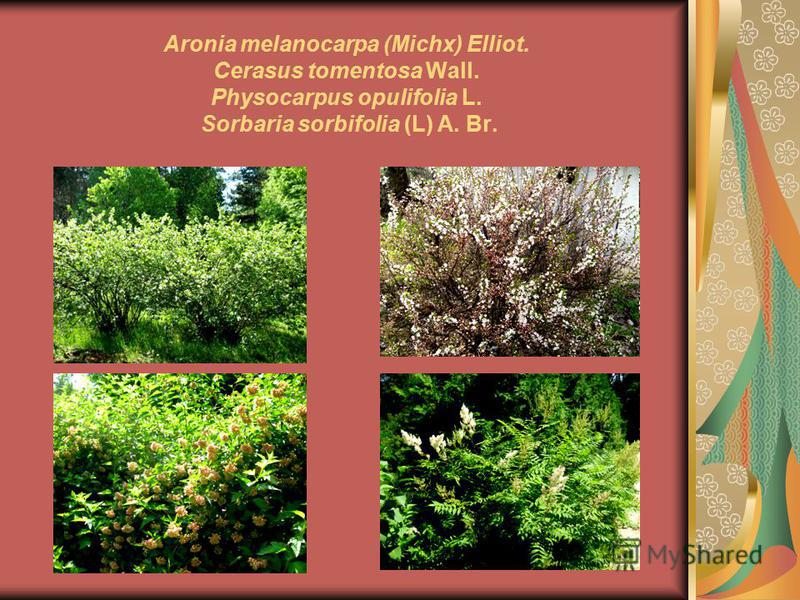 Aronia melanocarpa (Michx) Elliot. Cerasus tomentosa Wall. Physocarpus opulifolia L. Sorbaria sorbifolia (L) A. Br.