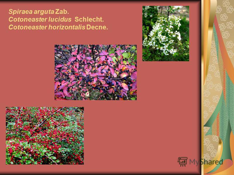 Spiraea arguta Zab. Cotoneaster lucidus Schlecht. Cotoneaster horizontalis Decne.