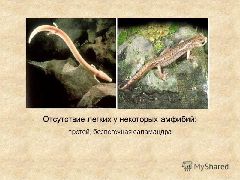 Отсутствие легких у некоторых амфибий: протей, безлегочная саламандра