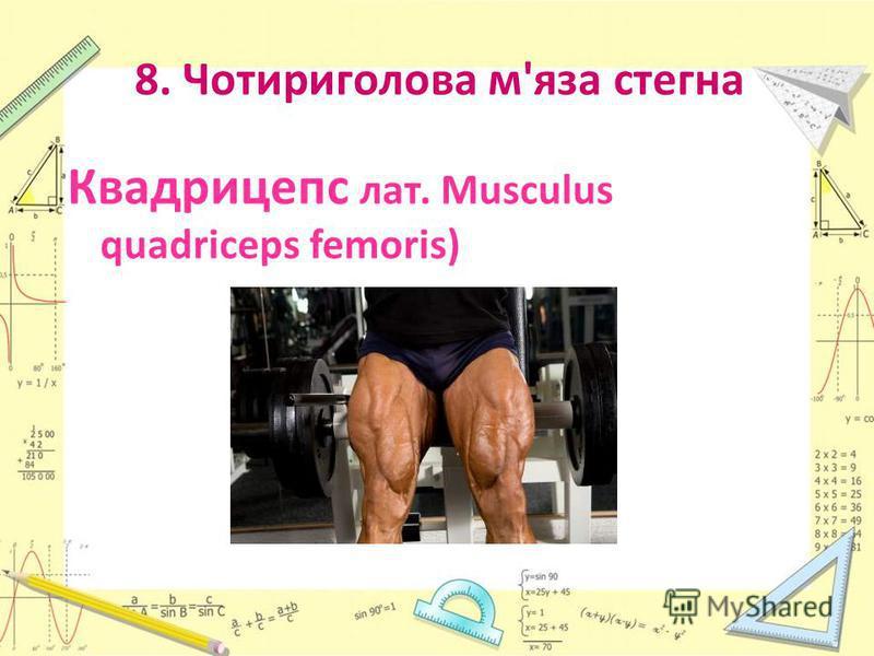 8. Чотириголова м'яза стегна Квадрицепс лат. Musculus quadriceps femoris)