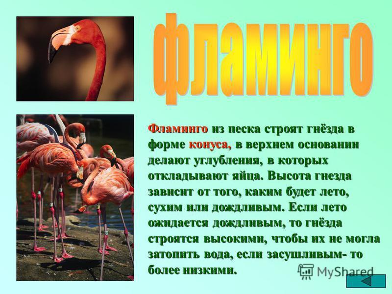 Фламинго из песка строят гнёзда в форме конуса, в верхнем основании делают углубления, в которых откладывают яйца. Высота гнезда зависит от того, каким будет лето, сухим или дождливым. Если лето ожидается дождливым, то гнёзда строятся высокими, чтобы