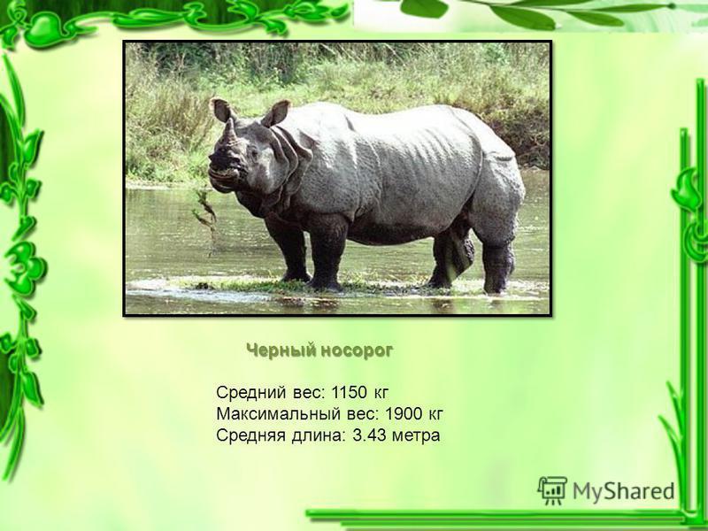 Черный носорог Средний вес: 1150 кг Максимальный вес: 1900 кг Средняя длина: 3.43 метра